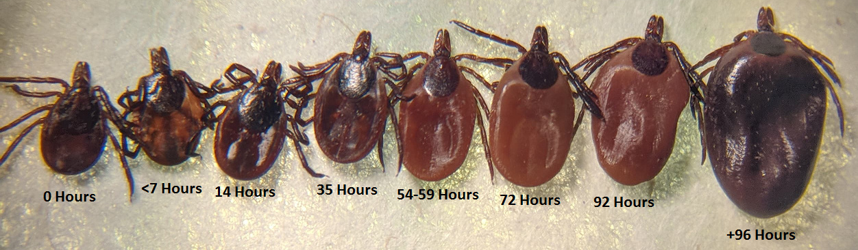 Female deer tick engorgement over time.