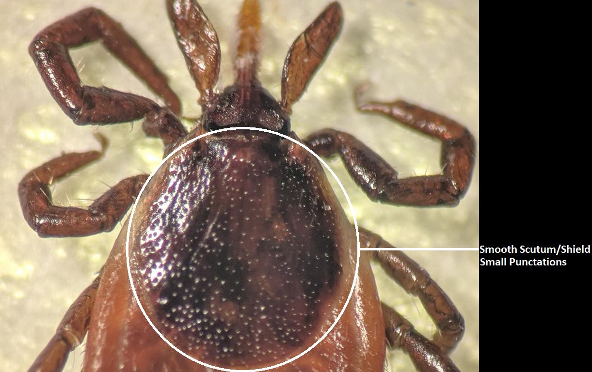 TickCheck.com - Anatomy of a Female Deer Tick - Tick Testing Information