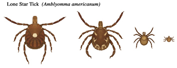 Lone star tick life stages