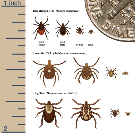 Tick life stage identification